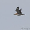 """Parasitic Jaeger <br /> Viewed from Sail Boat cove point """"day boat ramp"""" <br /> Smithville Lake <br /> 2016-09-20"""