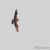 Parasitic Jaeger <br /> Viewed from Little Platte Marina<br /> Smithville Lake <br /> 2016-09-19