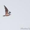 Franklin's Gull <br /> Viewed from Little Platte Marina<br /> Smithville Lake <br /> 2016-09-19