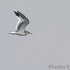 Sabine's Gull <br /> Viewed from Little Platte Marina<br /> Smithville Lake <br /> 2016-09-21