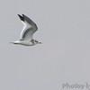 Sabine's Gull <br /> Viewed from Little Platte Marina<br /> Smithville Lake <br /> 2016-09-21