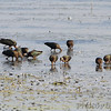17 of 26 White-faced Ibis <br /> Squaw Creek National Wildlife Refuge <br /> 2016-09-21