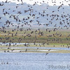 Lots of Northern Pintail <br /> Squaw Creek National Wildlife Refuge <br /> 2016-09-21