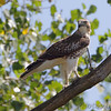 Red-tailed Hawk <br /> Squaw Creek National Wildlife Refuge <br /> 2016-09-20