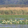 White-faced Ibis <br /> Squaw Creek National Wildlife Refuge <br /> 2016-09-20
