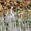 Trumpeter Swan <br /> Squaw Creek National Wildlife Refuge <br /> 2016-09-20