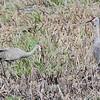 Sandhill Cranes <br /> Squaw Creek National Wildlife Refuge <br /> 2016-09-20