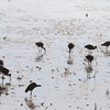 """White-faced Ibis <br> Squaw Creek National Wildlife Refuge <br> 2016-09-21 <br><br>  <span class=""""noShowSmart""""> <a href=""""/MyKeywords/Bird-Videos/n-gF9bt/i-sjMn5rQ/A""""> <span style=""""color:yellow"""">Click here to open video in lightbox/full screen</span></a> </span>  <span class=""""noShowGallery""""> <a href=""""/Birds/2016-Birding/Birding-2016-September/2016-09-20-21-SCNWR/i-sjMn5rQ/A""""> <span style=""""color:yellow"""">Click here to open video in lightbox/full screen</span></a> </span>"""