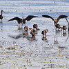 White-faced Ibis <br /> Squaw Creek National Wildlife Refuge <br /> 2016-09-21