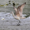 Marbled Godwit <br /> Ellis Bay <br /> Riverlands Migratory Bird Sanctuary <br /> 2016-09-28