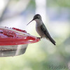 Ruby-throated Hummingbird <br /> (Out kitchen window backyard) <br /> Bridgeton, MO <br /> 2016-09-27