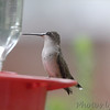 Ruby-throated Hummingbird <br /> (Out front window) <br /> Bridgeton, MO <br /> 2016-09-08