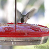 Ruby-throated Hummingbird <br /> (Out kitchen window backyard) <br /> Bridgeton, MO <br /> 2016-09-27
