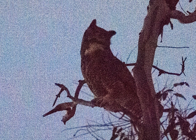 Great-horned Owl in the Dark (ISO 51200)