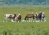 Ponies and Cattle Egrets