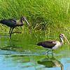 Glossy Ibis and Juvenile White Ibis