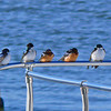Barn Swallows and Tree Swallow