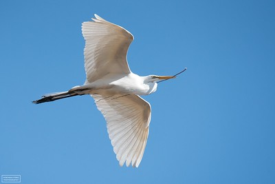 Great Egret carrying nesting material