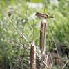 Marsh Wren gathering nesting material