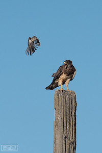 Swainson's Hawk being harassed by a Northern Mockingbird
