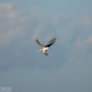 White-tailed Kite with breakfast