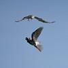 White-tailed Kites pair bonding