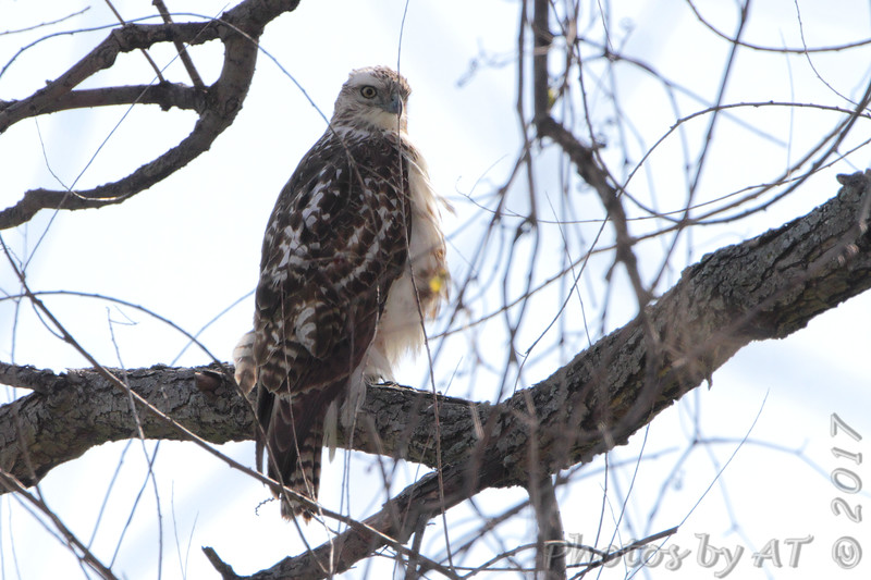 Red-tailed Hawk <br /> Columbia Bottom Conservation Area