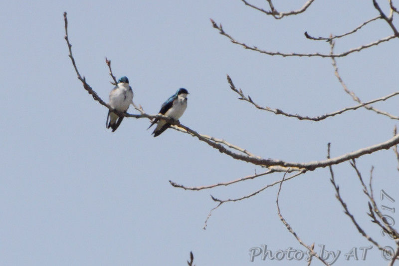 Tree Swallows <br /> Riverlands Migratory Bird Sanctuary