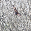 Turkey Vulture <br /> Weldon Spring Conservation Area <br /> Shot from ~100yds out from Katy Trail Access