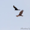 Turkey Vultures <br /> Weldon Spring Conservation Area <br /> Shot from ~100yds out from Katy Trail Access