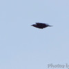 Fish Crow (call heard)<br /> Flying over Weldon Spring Conservation Area <br /> Shot from ~100yds out from Katy Trail Access