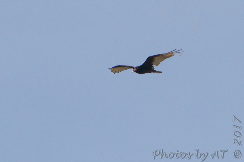 Turkey Vulture <br /> Flying over Weldon Spring Conservation Area <br /> Shot from ~100yds out from Katy Trail Access