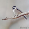 Carolina Chickadee <br /> Busch Wildlife Conservation Area