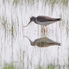Lesser Yellowlegs <br /> Intersection of Firma and Dalbow Roads <br /> St. Charles County