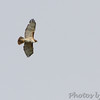 Red-tailed Hawk <br /> Firma Road <br /> St. Charles County
