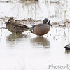 Blue-winged Teal <br /> Dalbow Road <br /> St. Charles County