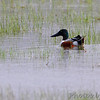 Northern Shoveler <br /> Intersection of Firma and Dalbow Roads <br /> St. Charles County