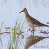 Pectoral Sandpiper <br /> Intersection of Firma and Dalbow Roads <br /> St. Charles County