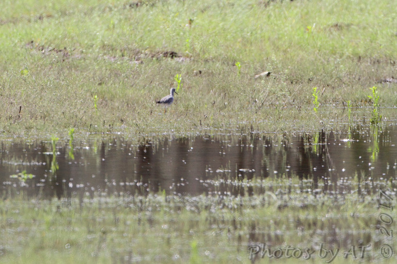 Greater Yellowlegs <br /> Peruque Creek Road <br /> St. Charles County