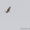 Northern Harrier <br /> Intersection of Firma and Dalbow Roads <br /> St. Charles County