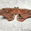 Polyphemus moth <br /> Quick stop at headquarters for restrooms <br /> Duck Creek Conservation Area <br /> 08:41:54