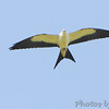 Swallow-tailed Kite <br /> Duck Creek Conservation Area