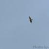 Red-shouldered Hawk <br /> Otter Slough Conservation Area