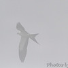 """Birding in the fog"" <br /> Swallow-tailed Kite <br /> Duck Creek Conservation Area"