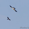 Swallow-tailed Kite and Mississippi Kite <br /> Duck Creek Conservation Area