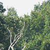 Mississippi Kite <br /> across from fish ponds <br /> Duck Creek Conservation Area