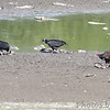 Black and Turkey Vultures <br /> Grand Tower levee <br /> Old Mississippi river channel oxbow