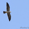 Mississippi Kite (Juvenile) <br /> Grand Tower levee <br /> Old Mississippi river channel oxbow