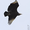Black Vulture <br /> Grand Tower levee <br /> Old Mississippi river channel oxbow