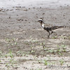 American Golden Plover <br /> Grand Tower levee <br /> Old Mississippi river channel oxbow